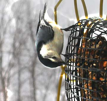 2004 snampshot of backyard visitor, a nuthatch